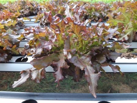 Alface crespa roxa em cultivo hidropônico - Crédito Francisco Aliomar Albuquerque Feitosa