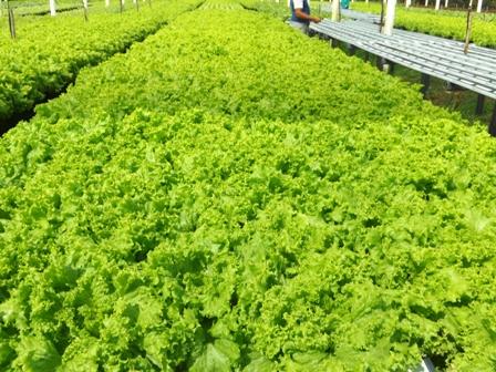Alface crespa verde em hidroponia - Crédito Francisco Aliomar Albuquerque Feitosa