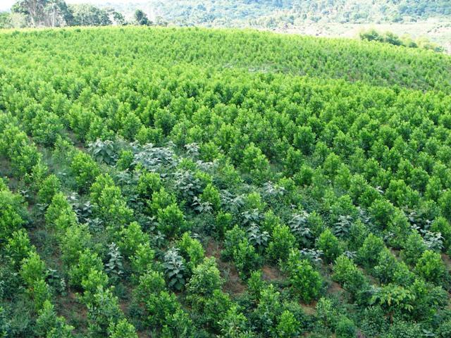 Plantio de Acácia Mangium - Crédito  Flávio Pereira