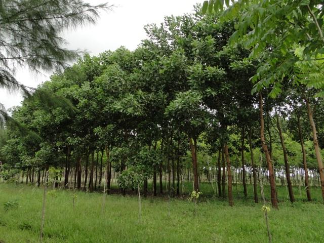 Acácia mangium