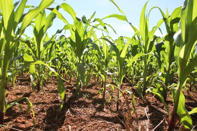 Híbridos de milho reduzem a incidência de nematoides - Crédito Miriam Lins