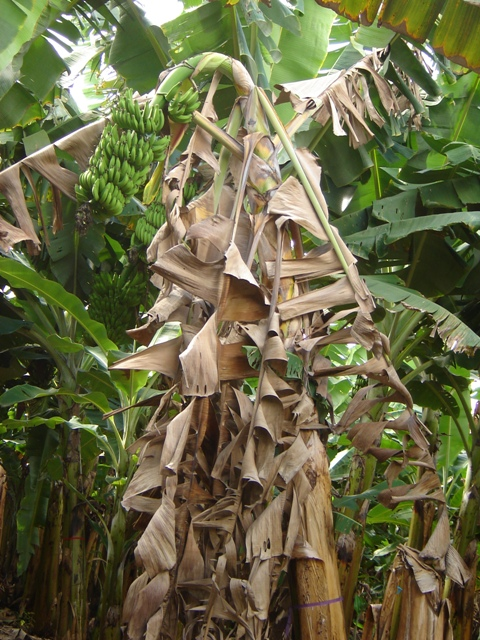 Pragas e doenças na bananicultura - Crédito Francisco Ermelindo