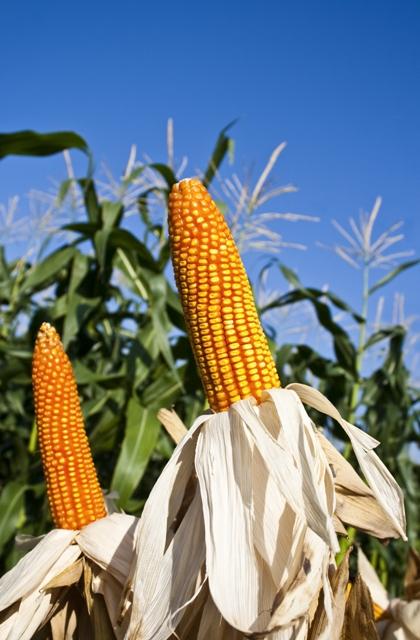 Existem genótipos de milho mais responsivos ao uso de inoculantes - Crédito Shutterstock