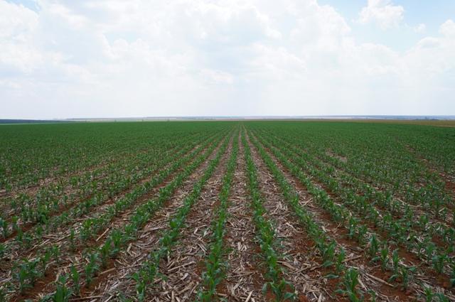 Os nematoides de galhas são os principais causadores de prejuízos ao milho - Crédito Ademir Torchetti
