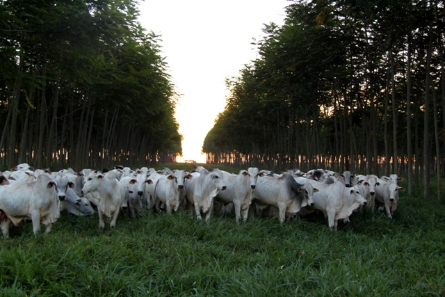 Integração lavoura, floresta e pecuária - Crédito Gabriel Faria Rezende