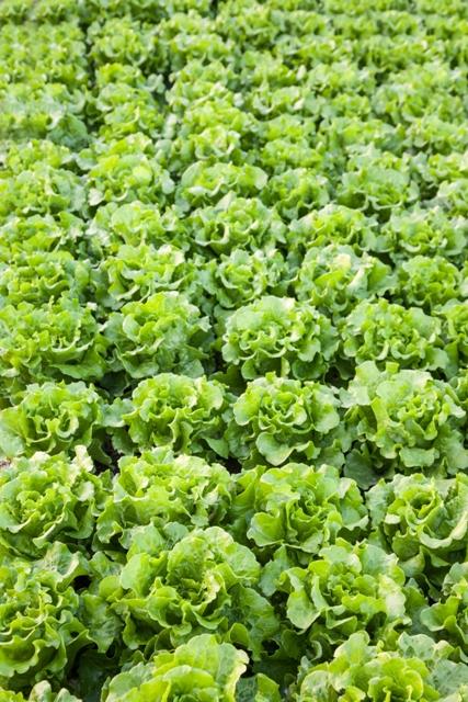 Os bioestimulantes são recomendados para melhorar a qualidade e aumentar a produção de folhosas - Fotos Shutterstock