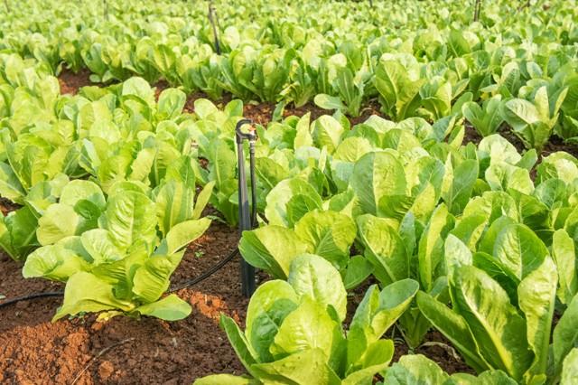 Os bioestimulantes melhoram o metabolismo vegetal e promovem o crescimento das plantas - Fotos Shutterstock