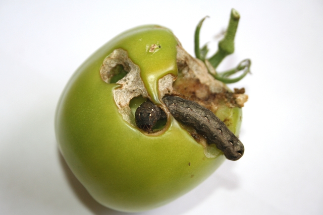 Lagarta brocando fruto do tomateiro - Créditos Flávio Medeiros