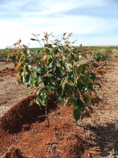 Adubação foliar para florestas se mostra viável - Crédito Luize Hess