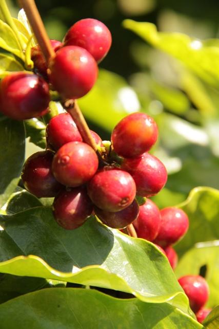 Potássio uniformiza maturação do cafeeiro - Crédito Miriam Lins