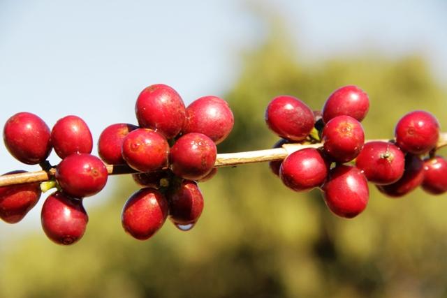 Enzimas garantem melhor qualidade do café produzido - Crédito Miriam Lins