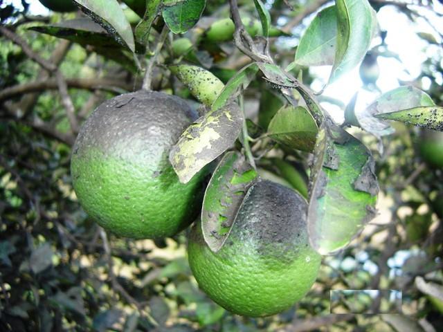 Mosca negra em citrus Crédito Raimunda Nonata