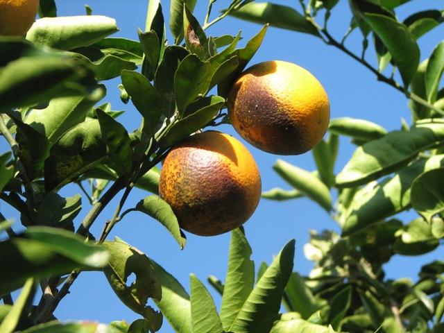 Mosca negra em citrus - Crédito Santin Gravena