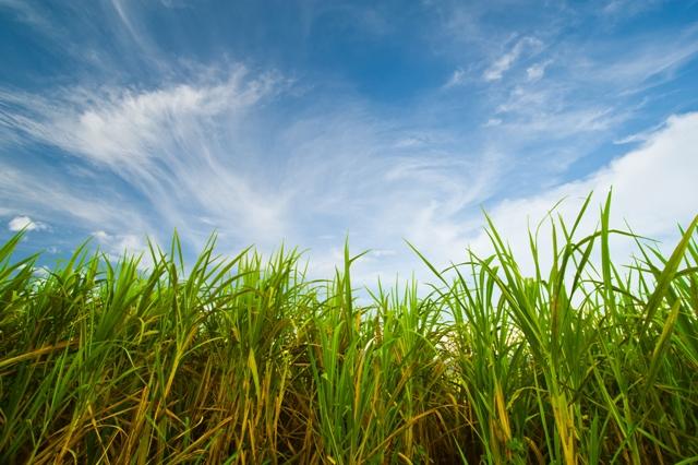 Simpósio nacional de cana - Crédito Shutterstock
