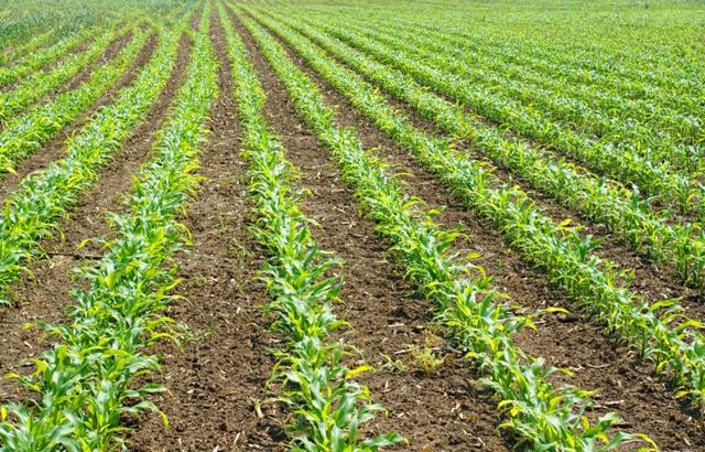O milho é a primeira opção mais adotada na safrinha - Crédito Shutterstock