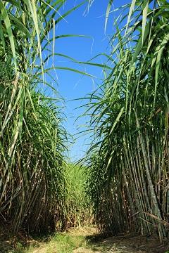 A cana-de-açúcar é a única cultura que consegue aproveitar todos os seus subprodutos gerados - Crédito Shutterstock