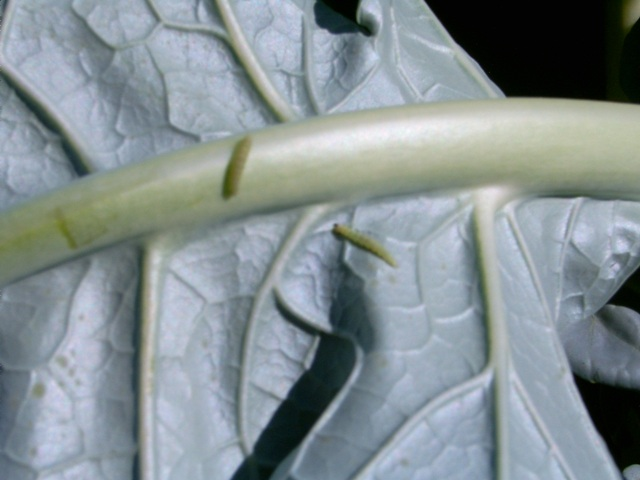 A-Ataque-das-traças-nas-folhas-de-brócolis-Foto-Alessandra-Marieli