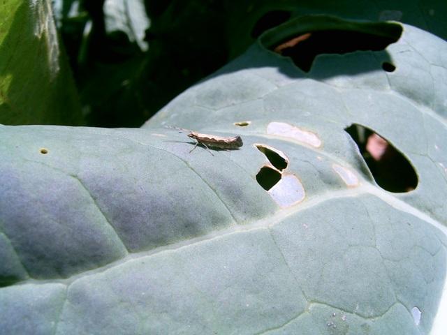 Ataque-das-traças-nas-folhas-de-brócolis-Foto-Alessandra-Marieli