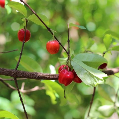 A aceroleira pode florescer e frutificar várias vezes durante o ano - Crédito Pixabay