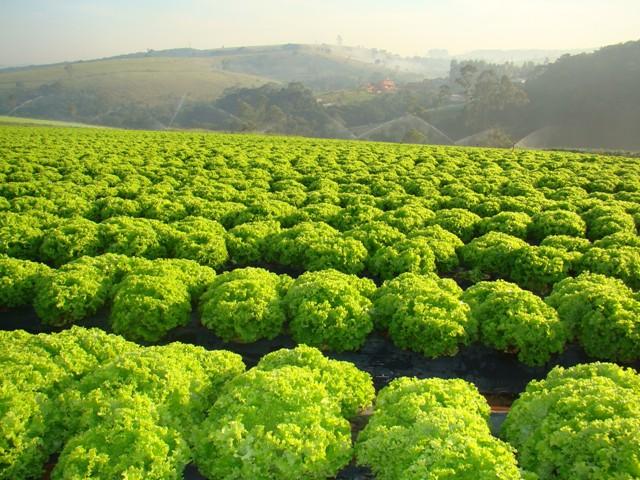 O uso do fosfito ativa a defesa das plantas - Crédito Hortec Sementes