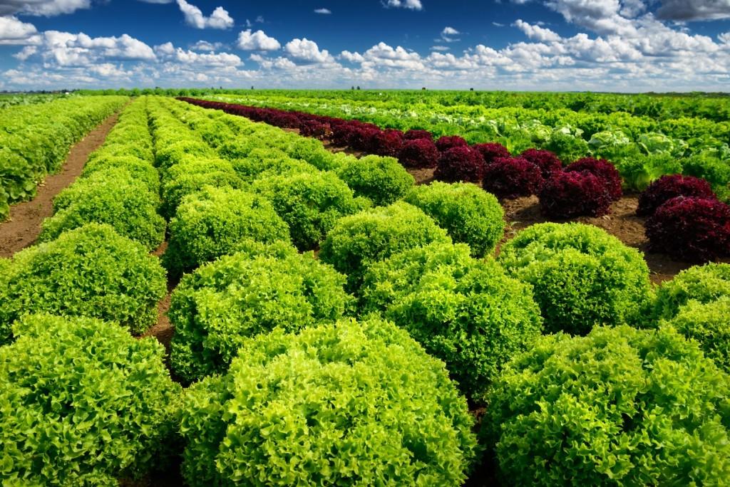 A produção de hortaliças folhosas é liderada por São Paulo, seguida pelo Rio de Janeiro - Créditos Shutterstock
