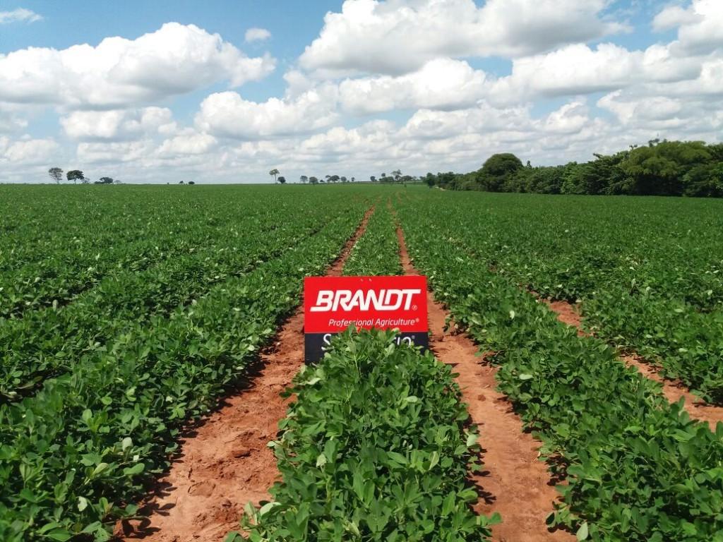 Cultura do amendoim com  tratamento Brandt