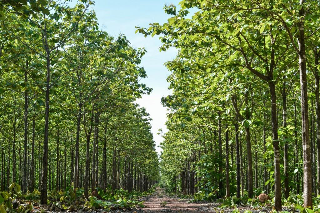 Plantação teca - crédito TRC Agroflorestal ltda