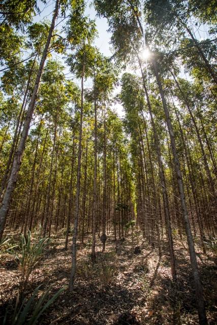 A técnica revela excelentes resultados e complementa o manejo nutricional da floresta - Crédito Fibria