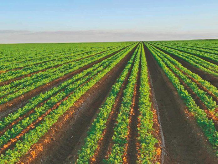 Como garantir uma boa produtividade das cenouras?